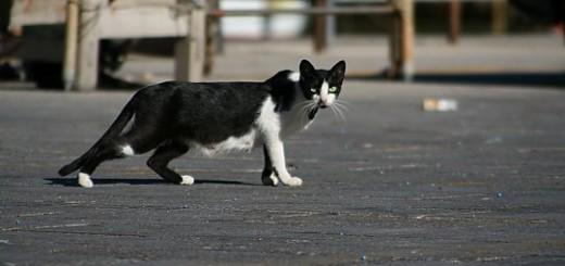 Sicilian-pisica-de-pe-strada_540