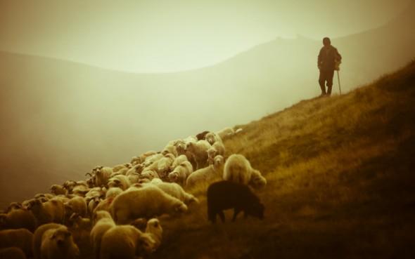 shepherd-sheep-2
