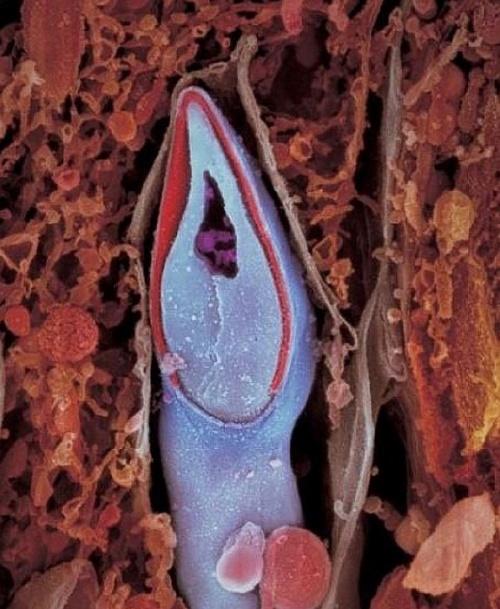 5. În capul spermatoziudului se păstrează întreg materialul genetic