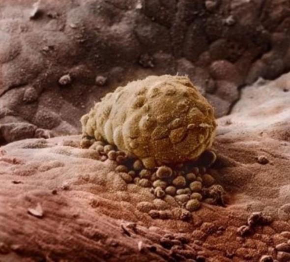 7. După încă o săptămână embrionul se fixează de uter