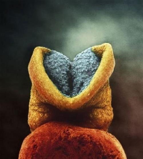 8. Embrionul are 22 de zile. Partea de culoaresură va fi capul micuțului