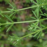 galium-aparine-stems