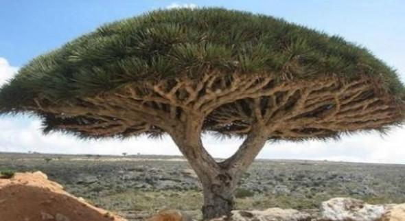 copacul-care-sangereaza-la-maturitate_552285