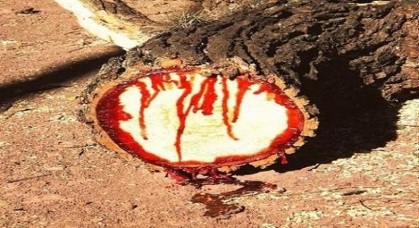pterocarpus-copacul-care-sangereaza_552285