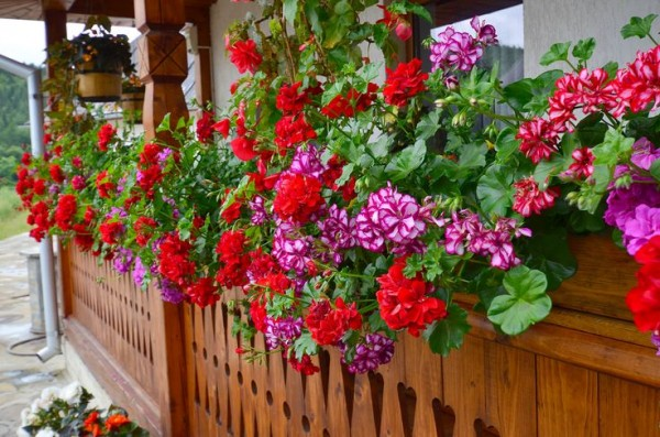 flori-muscate