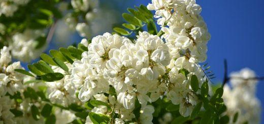 flori-frumoase-de-salcam